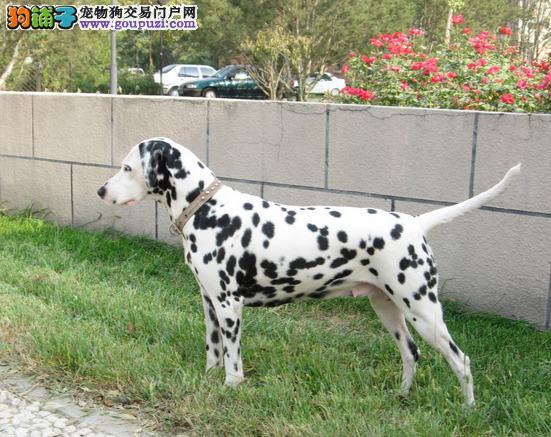郑州市哪里有卖斑点狗 公母都有 疫苗齐全 纯种健康 签协议