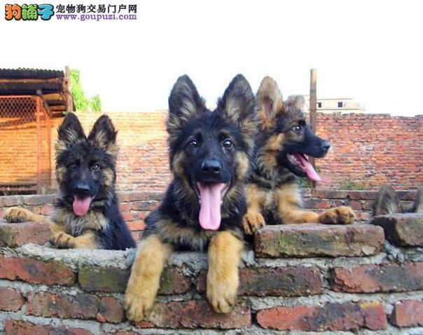 权威机构认证犬舍 专业培育犬幼犬保障品质售后