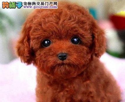 嘉峪关家养泰迪熊 实拍出售 长不大的茶杯犬玩具泰迪