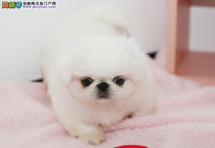 家养极品京巴出售 可见父母颜色齐全赠送全套宠物用品