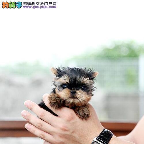 出售品相好血统纯的杭州约克夏 可随时上门选购犬