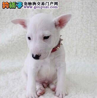 东方市纯白色牛头梗犬幼犬健康出售 孙红雷同款宠物狗