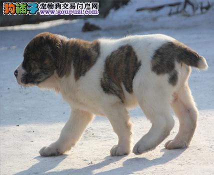 百分百健康纯种中亚牧羊犬杭州热卖中价格美丽品质优良