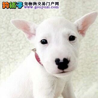 万宁市出售牛头梗 可视频看狗 三个月包退换 全国包邮