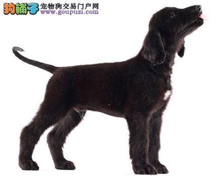 遵义家养赛级阿富汗猎犬宝宝品质纯正最优秀的售后