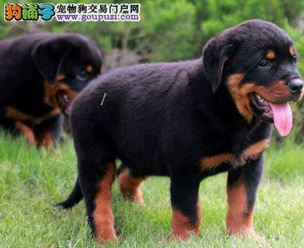 成都纯种极品罗威纳幼犬狗狗 父母有血统包健康品质