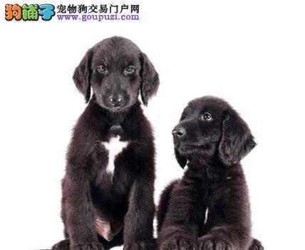 郑州家养赛级阿富汗猎犬宝宝品质纯正微信咨询欢迎选购