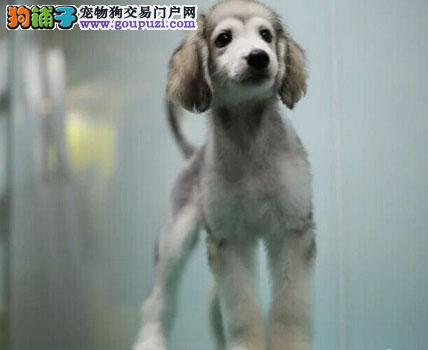 阿富汗猎犬幼犬出售中、注射芯片颁发证书、绝对信誉保证