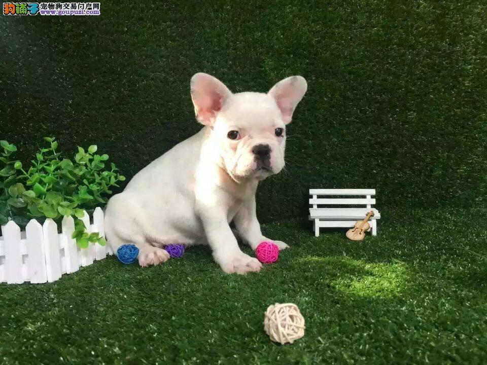 杭州市出售发过斗牛犬 纯种健康 可看狗爸妈 上门选购
