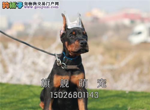 黑龙犬舍杜宾低价出售幼犬待售全国发货
