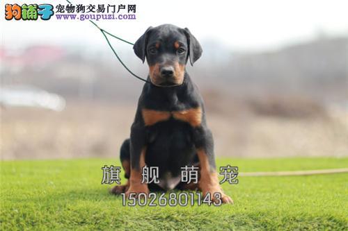 海南杜宾漂亮精品威猛狗狗送用品全国发货