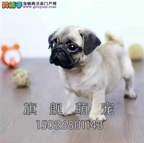 贵州哪里有巴哥极品出售狗狗全国发货