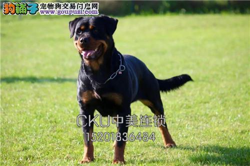 新疆罗威纳大头幼犬保健康全国发货