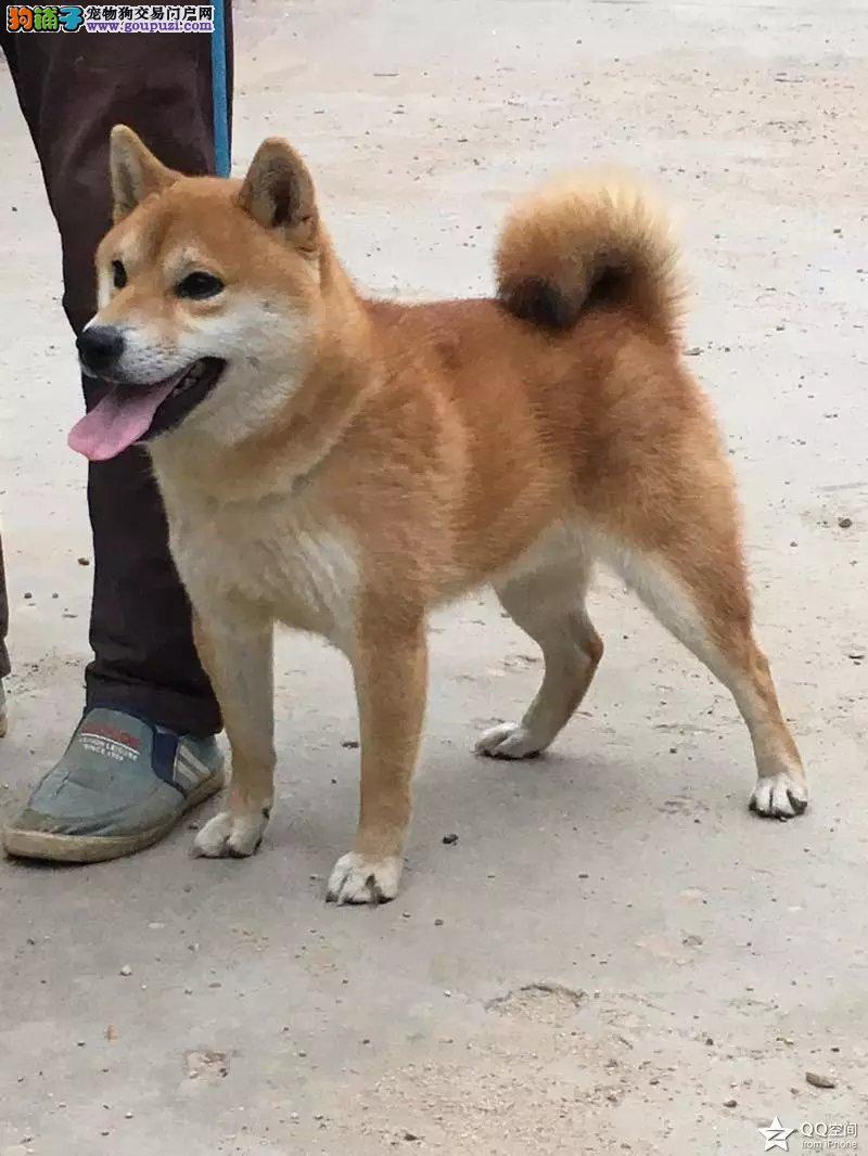 广州售日系小柴犬 签合同包纯种健康 三个月内免费退换