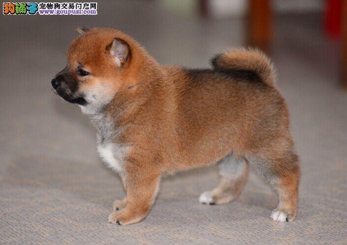 铜川日本柴犬 家养短毛中小型犬 赤红色铁包金柴犬