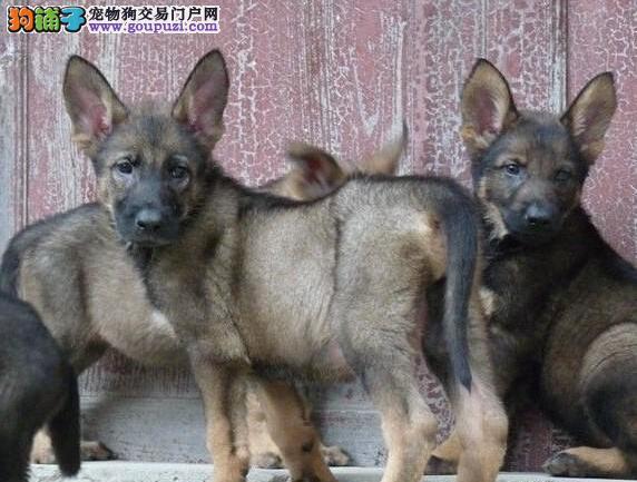 昆明犬多少钱 出售犬幼犬疫苗齐全可视频看狗