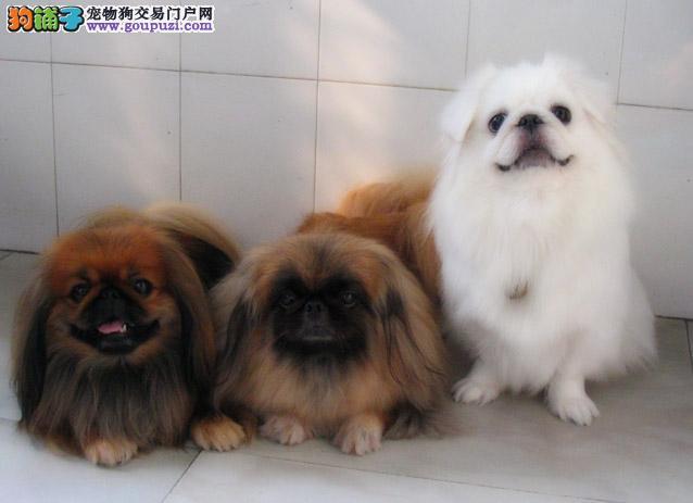海口出售京巴幼犬品质好有保障期待您的来电咨询
