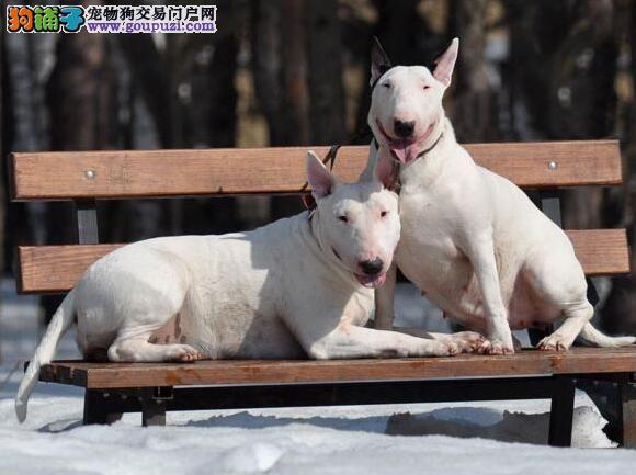 牛头梗犬特征及性格须知