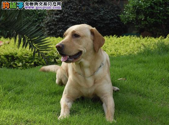 介绍拉布拉多犬的独特气质