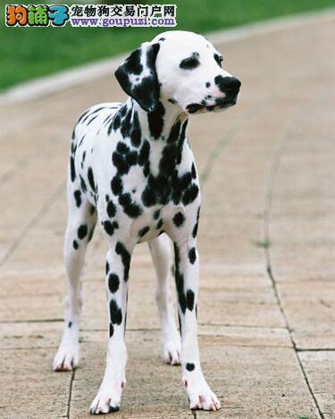 斑点狗的独有特质