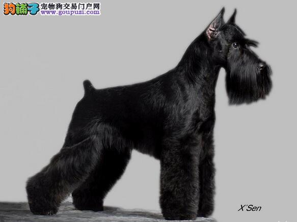 3类雪纳瑞犬种类体型比较
