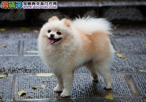 博美犬的特征和喂养