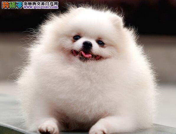 介绍博美犬个性以及起源