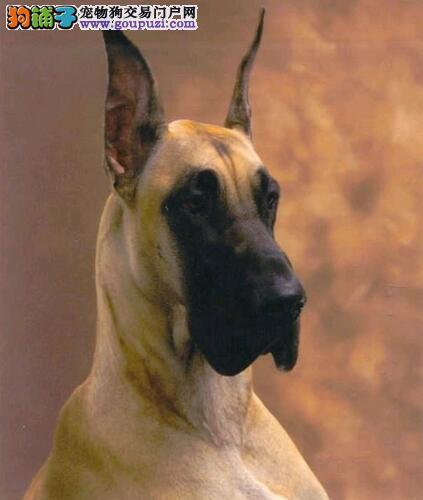 大丹犬历史起源及性格特征