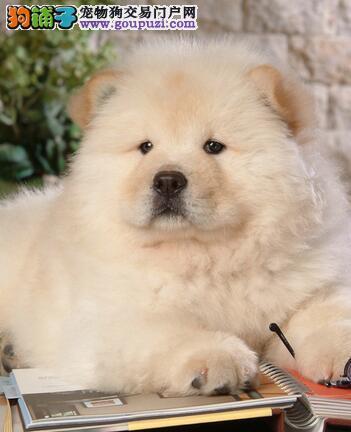 依照松狮犬被毛颜色选购优质犬