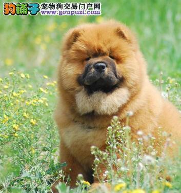 松狮犬起源以及由来