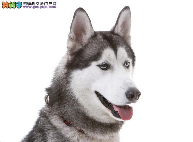 热门温驯狗狗,最流行的哈士奇犬