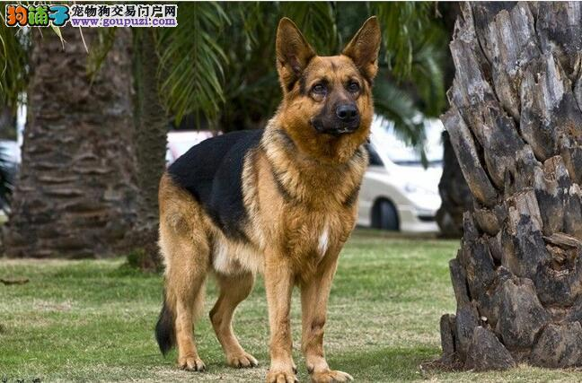德国牧羊犬身材体型标准