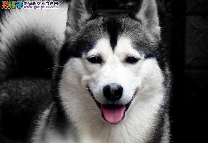 简单介绍一下西伯利亚雪橇犬(哈士奇)