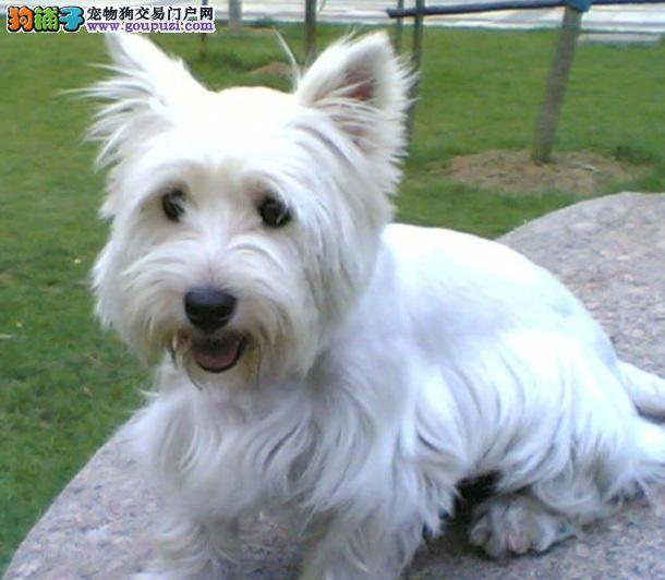 西高地白梗犬的外形特点