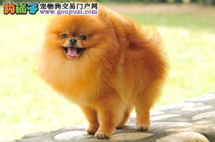 博美犬的性格特点及养前小知识