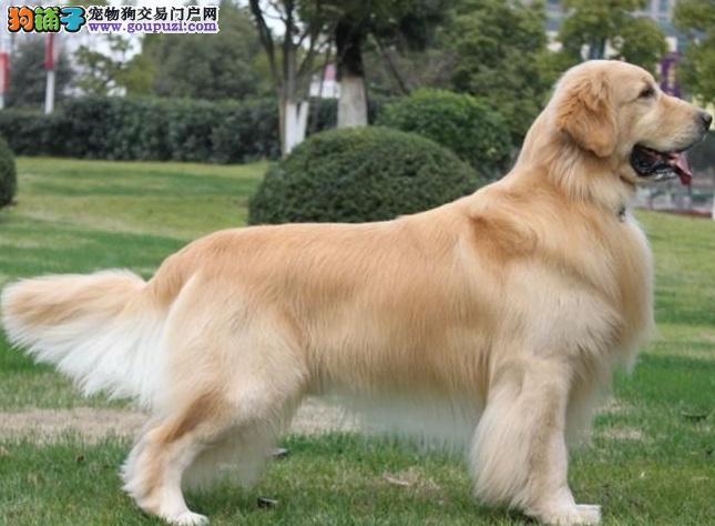 温暖阳光的撒娇犬,黄金猎犬