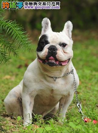 法国斗牛犬与巴哥犬和英牛的区别