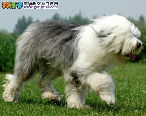 与熊猫相似的狗狗,充满古典美英伦范的古代牧羊犬