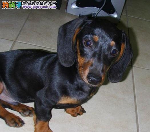 18个原因让你知道为什么腊肠狗是最可爱的狗狗