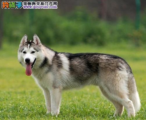 性格好动贪玩的西伯利亚雪橇犬