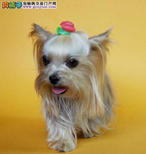 小小宠物狗,约克夏犬的性格特点