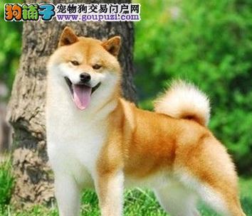 可爱迷人的柴犬