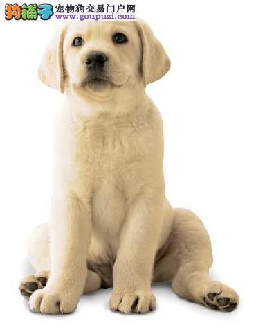 拉布拉多犬的外形及性格特点
