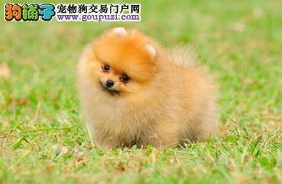 外表靓丽又机警敏捷的博美犬超适合家养