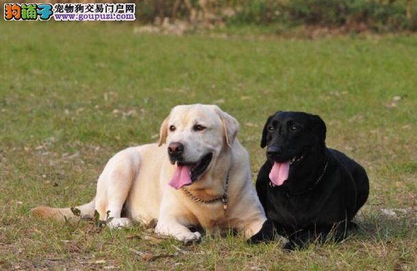 了解人气王拉布拉多犬