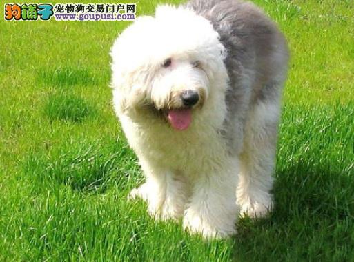 熟知古代牧羊犬的外观和常见健康问题