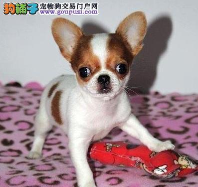 体型小却不娇弱的吉娃娃犬,超好强个性