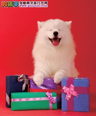 永远挂着微笑的萨摩耶犬
