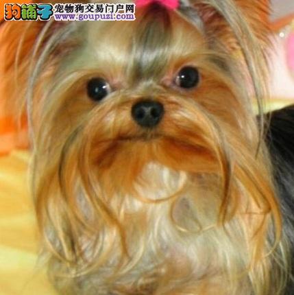 极具个性的约克夏犬