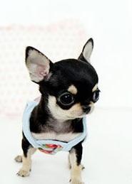 可爱甜美的小型狗吉娃娃